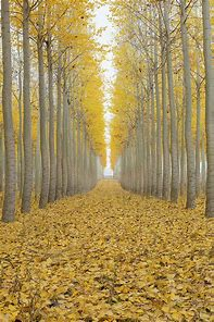 Image result for pictures of poplar trees in the fall