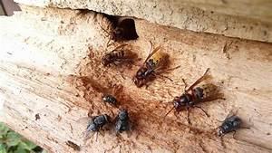 Wann Verlassen Wespen Ihr Nest : hornissen und die fliegen doovi ~ A.2002-acura-tl-radio.info Haus und Dekorationen
