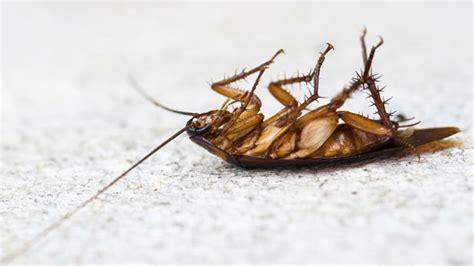 Kakerlaken Bekämpfen Schädlinge Fangen Oder Vertreiben