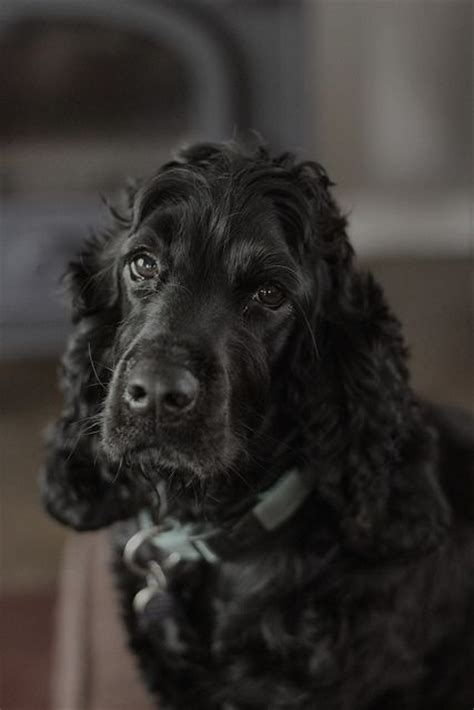 cocker spaniel owners   forget