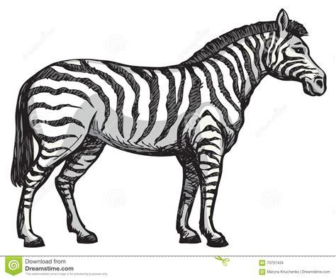 Drawn Zebra Sketch Pencil And In Color Drawn Zebra Sketch