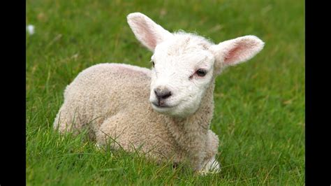 Cool Facts About Sheep - YouTube
