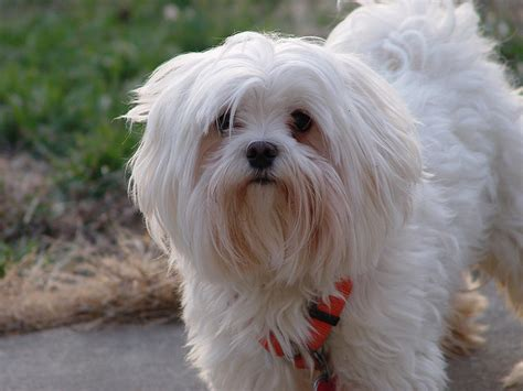 maltese the roman ladies dog dog breed answers