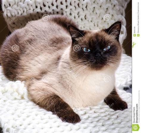 siamese cat royalty  stock  image