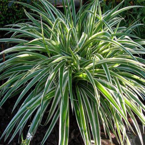 chlorophytum comosum en pot 216 9cm