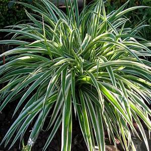Plante D Extérieur En Pot : chlorophytum comosum en pot 9cm ~ Teatrodelosmanantiales.com Idées de Décoration
