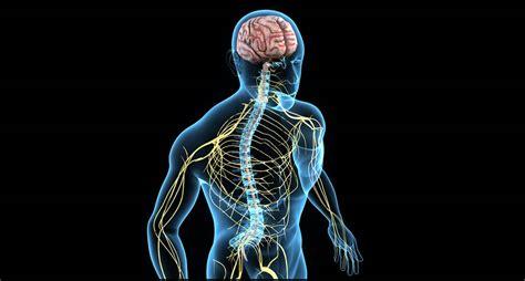 Sinir sistemi - İnsan Anatomisi - Sağlık - Bilgipeia