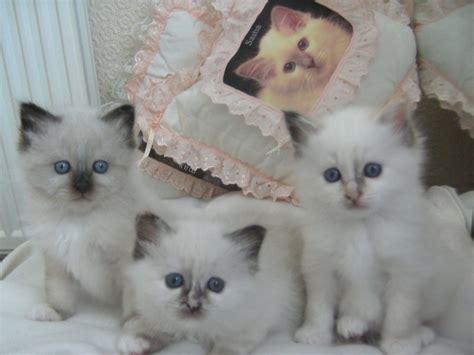 kitten for sale birman kittens for sale stockport greater manchester