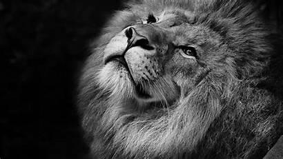 Lion 4k Monochrome Wallpapers