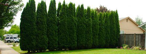 arbor vitae an arbor vita in distress spring green blog