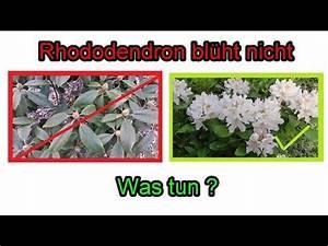Meerrettich Blüht Was Tun : rhododendron bl ht nicht was tun ursachen pflege ~ Lizthompson.info Haus und Dekorationen