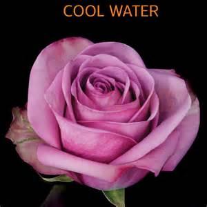 Light Blue Roshes by Native Blooms Wholesale Premium Ecuadorian Roses