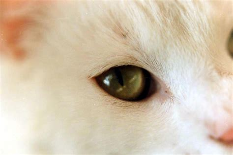 conjunctivitis inflammation   eyes  cats