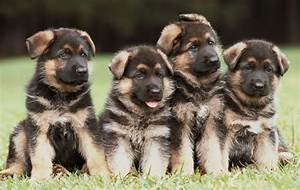 Cute German shepherd Puppies - Doglers