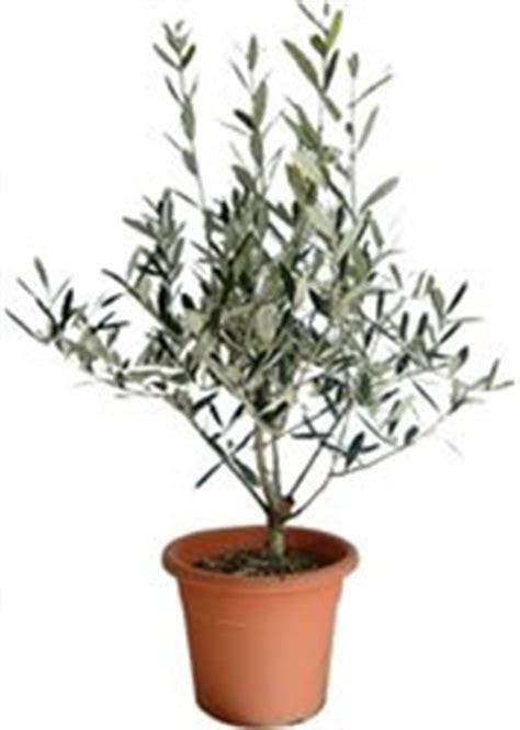 taille des oliviers en pots l olivier en pot afidol