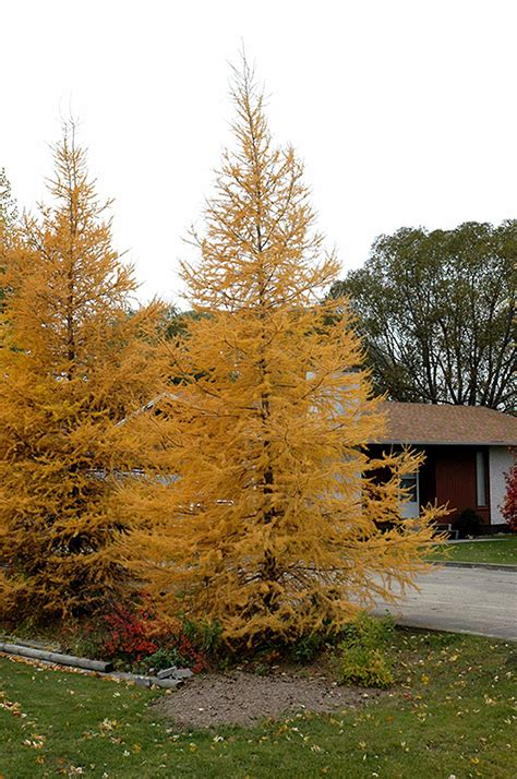 eastern larch larix laricina  inver grove heights