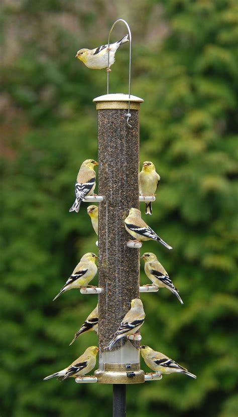 finch bird feeder bird