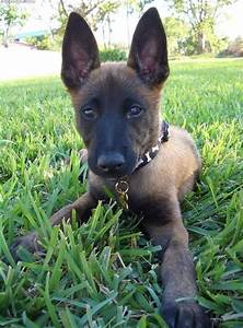17 Best images about Belgian Malinois on Pinterest ...
