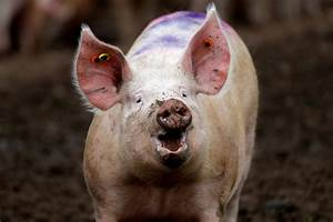 Scientists Can Now Keep A Pig U2019s Brain Alive Outside Of Its