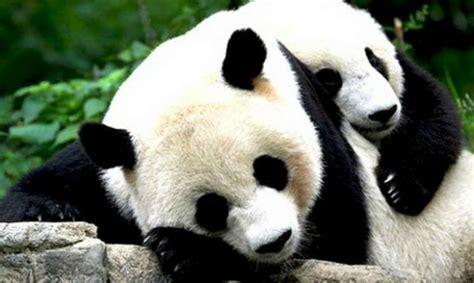 osos pandas   quieren tomarse su medicina divertidisimo
