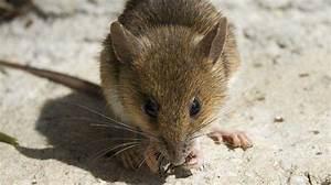 Produit Pour Tuer Les Souris : comment repousser les souris naturellement voici 3 astuces qui marchent ~ Melissatoandfro.com Idées de Décoration