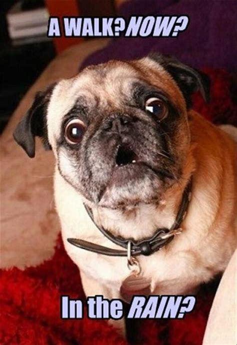 Pug Meme - the 14 most ridiculous pug pictures ever