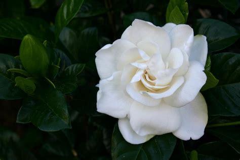 Gardenia Picture by Gardenia Varieties Slideshow