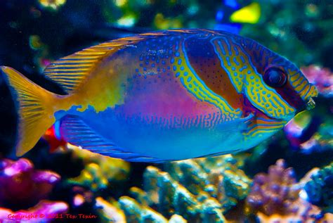 colorful aquarium fish colorful fish at monterey aquarium tex texin flickr