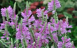 Vivid Obedient Plant Picture - Gardenality