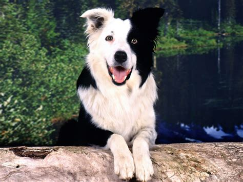 border collie breed guide learn   border collie