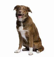 Australian Shepherd Mixed Breed Dogs