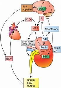 Dual Role Of Sgk1 In The Maintenance Of Salt Homeostasis