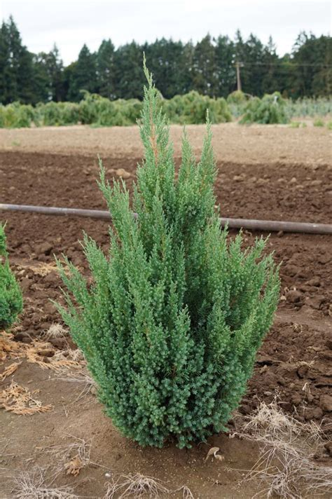 kg farms inc juniperus chinensis blue point