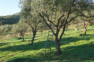 pruning olive trees harvest to table