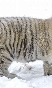 White Siberian Tiger Cubs In Snow | Wallpapers Emoji