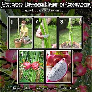 growing dragon fruit in container | home garden ...