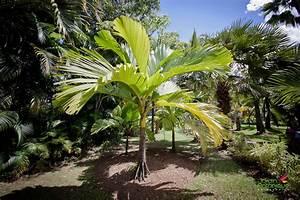Palmier De Jardin : le monde des palmiers jardin botanique deshaies ~ Nature-et-papiers.com Idées de Décoration