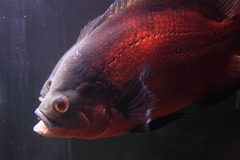 beautiful ornamental fish astronotus ocellatus oscar fish