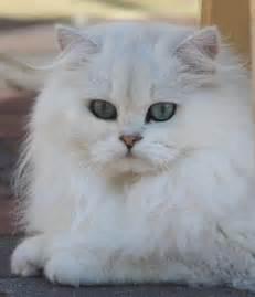 chinchilla cat beautiful and chang e 3 on