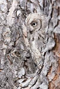 Owl Camouflaged Into Bark Until It Turns Its Head
