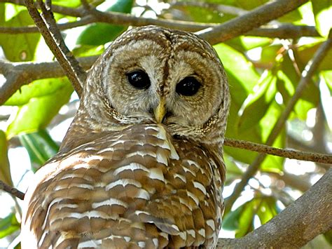 barred owl niceville florida guest post ruth e