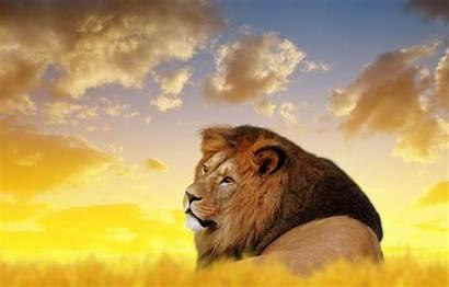 4k Lion Ultra Animals Wallpapers Desktop Lions