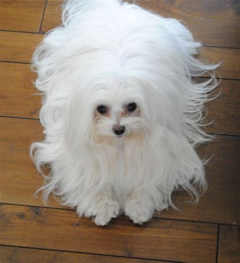 does maltipoo shed hair 25 best ideas about maltese haircut on