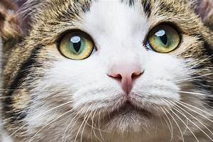The Domestic Shorthair - Cat Breeds Encyclopedia  Domestic