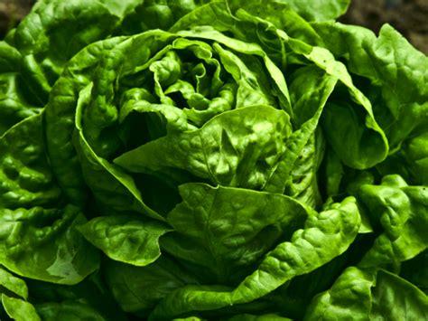 kopfsalat pflanzen vom vorziehen bis zur ernte die