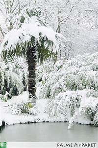 Trachycarpus Fortunei Auspflanzen : palmen im schnee palmen ratgeber palme per paket ~ Eleganceandgraceweddings.com Haus und Dekorationen