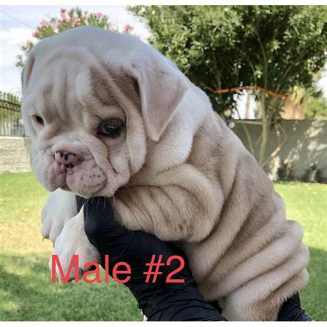 pure english bulldog puppies  sale  las vegas nevada