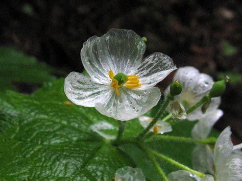 La Fleur Qui Devient Transparente Sous La Pluie
