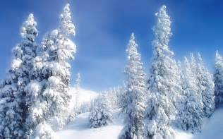 snowy fir branch wallpaper wallpaper wide hd