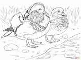 Coloring Mandarin Duck Male Pages Ducks Wood Duckling Female Drawing Supercoloring Coloriage Canard Printable Voor Kleurplaten Femelle Et Main Getcolorings sketch template